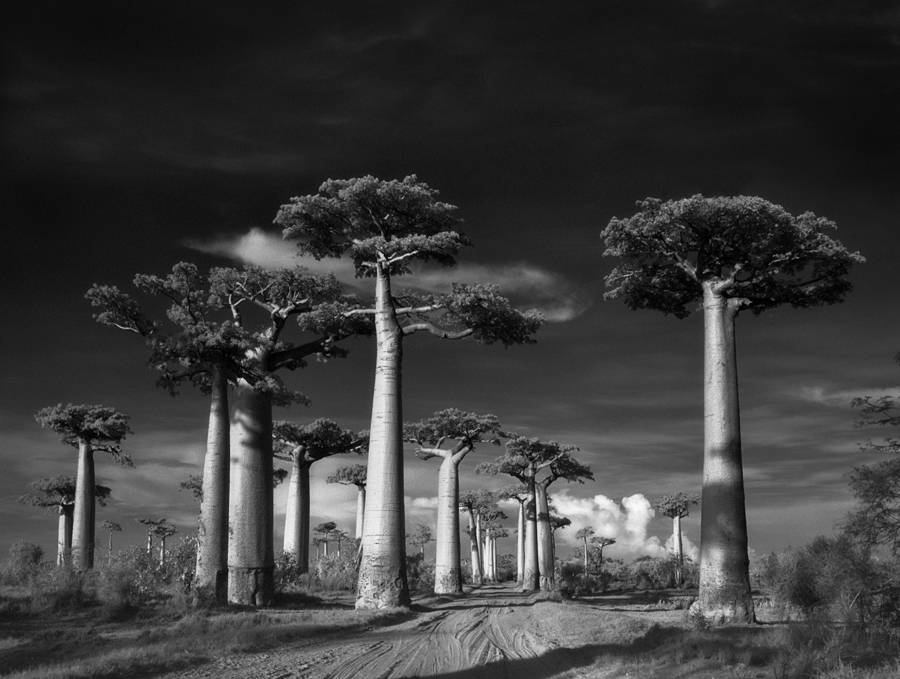 Avenue of the Baobabs - Photo : Beth Moon