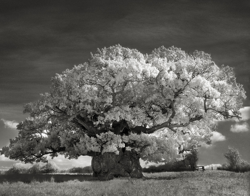 Bowthorpe Oak - Photo : Beth Moon