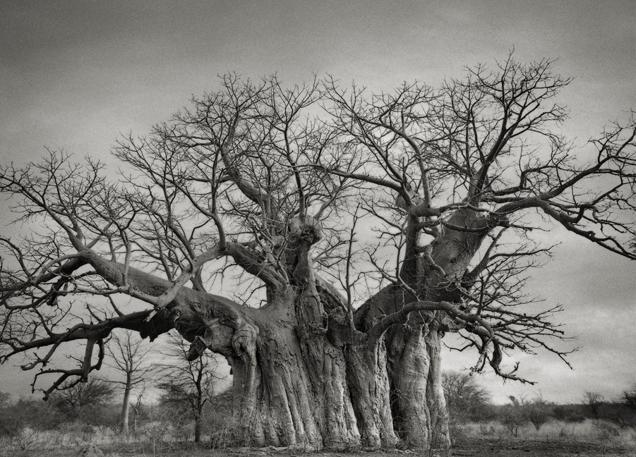 Chapman's Baobab - Photo : Beth Moon