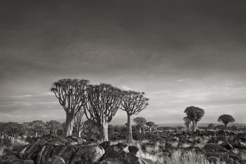 Quiver Trees at Dusk - Photo : Beth Moon