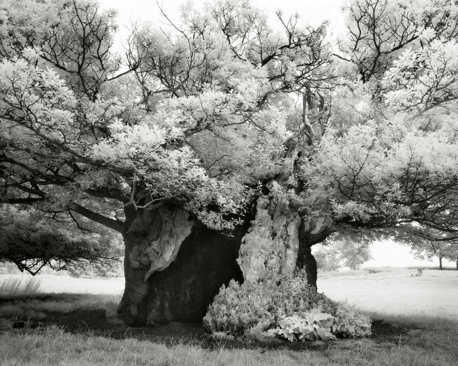 The Queen Elizabeth Oak - Photo : Beth Moon