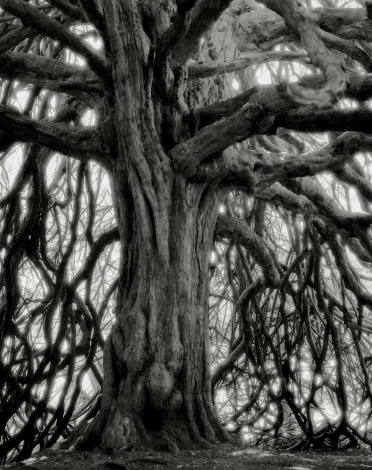The Whittinghame Yew - Photo : Beth Moon