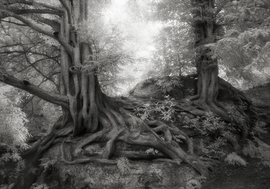 Wakehurst Yews - Photo : Beth Moon