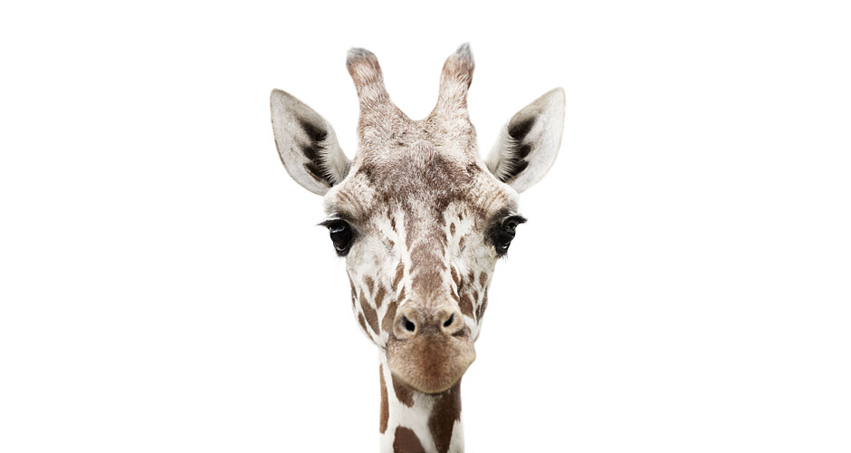 Giraffe Photo : Morten Koldby