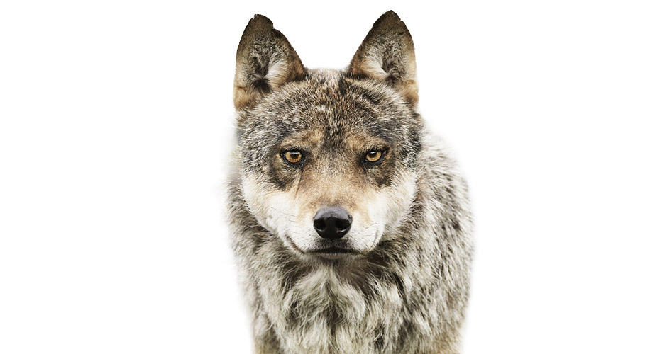Loup de Scandinavie Photo : Morten Koldby