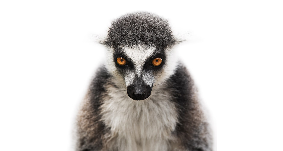 Lemur catta Photo : Morten Koldby