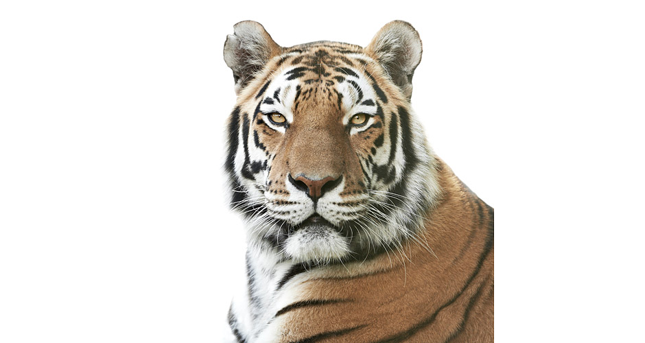 Tigre de Sibérie Photo : Morten Koldby pour WWF Together App