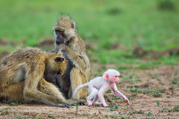 Photo Will Burrard-Lucas A rare white baby baboon photographed in South Luangwa National Park, Zambia.