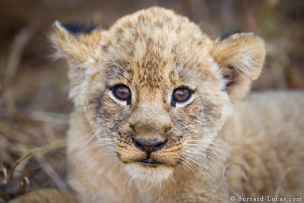 Photo Will Burrard-Lucas - A tiny lion cub photographed in South Luangwa, Zambia.