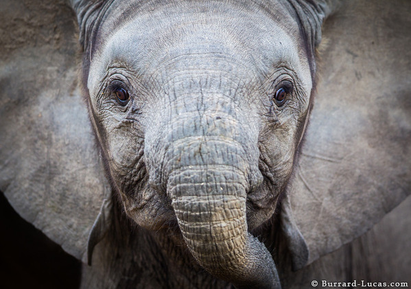 Photo Will Burrard-Lucas - A close up of an African Elephant. South Luangwa, Zambia