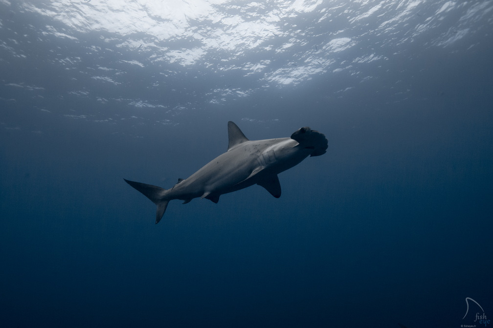 1Photo : Alex Voyer & Alex Roubaud - Fisheye - requins sharks