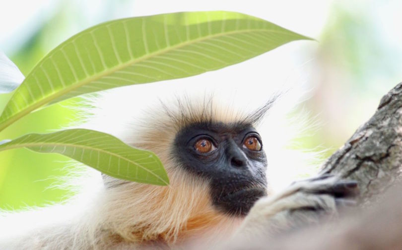 An endangered golden langur living in the high trees on the man-made island of Umananda (Photo Dhyey Shah)