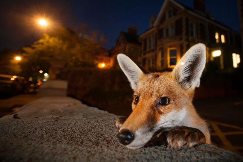 An urban red fox on the suburban streets of Bristol (Photo Sam Hobson)