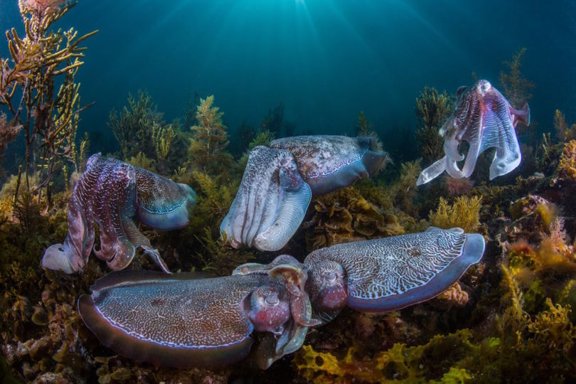Thousands of giant in the shallow waters of South Australia (Photo Scott Portelli)