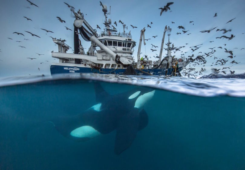 a large male killer whale feeding on herring from a fishing trawler in Arctic Norwegian waters (Photo Audun Rikardsen)