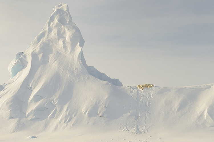 bears-on-a-berg-by-john-rollins-canadian-arctic