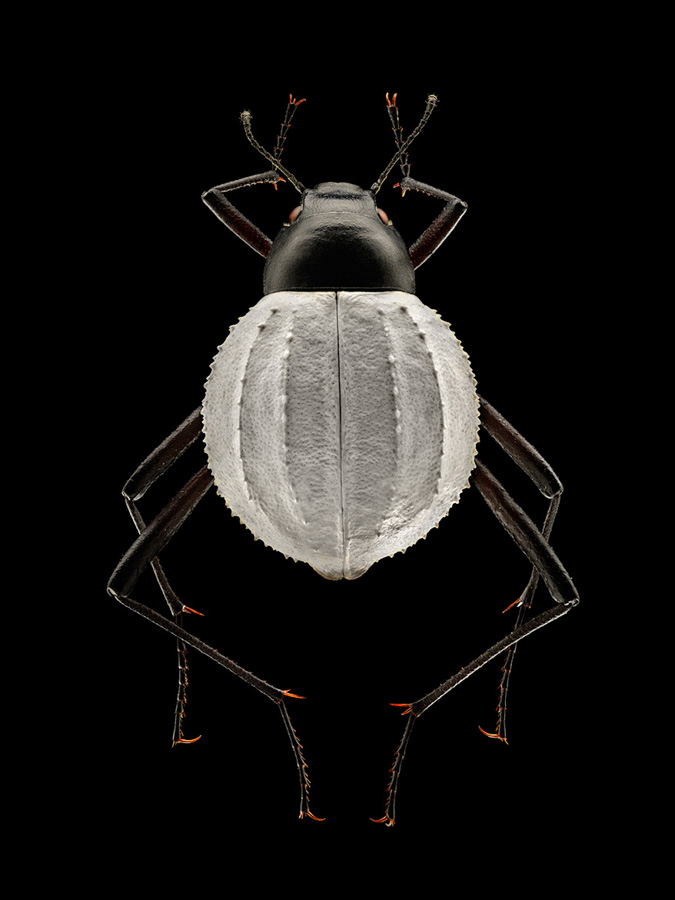 Photo : Levon Biss / Microsculpture / Darkling Beetle