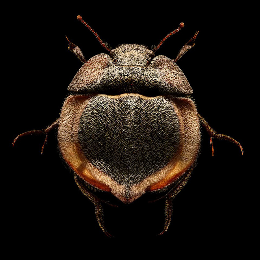 Photo : Levon Biss / Microsculpture / Flying Saucer Trench Beetle