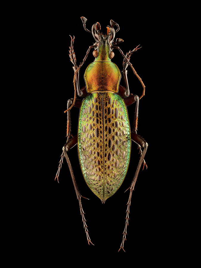 Photo : Levon Biss / Microsculpture / Ground Beetle China