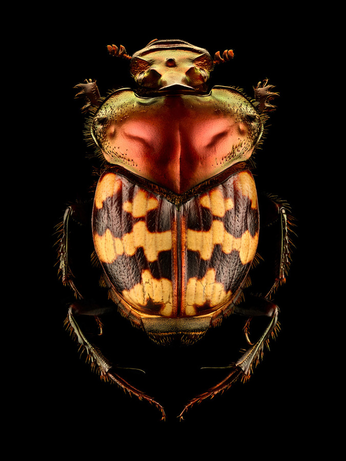 Photo : Levon Biss / Microsculpture / Splendid-necked Dung Beetle