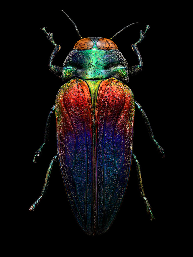 Photo : Levon Biss / Microsculpture / Tricoloured Jewel Beetle