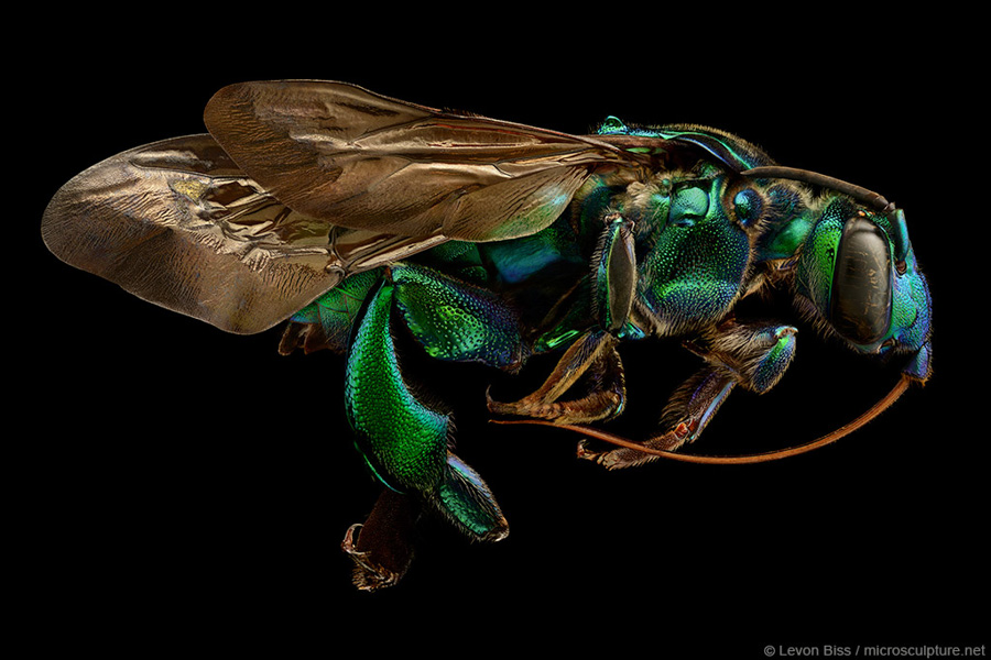 Photo : Levon Biss / Microsculpture / Orchid Cuckoo Bee