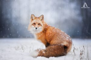 Photo - Iza Lyson, Freya the Fox en hiver