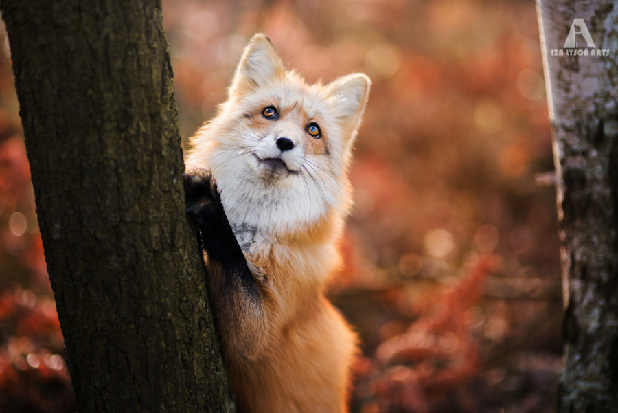 Photo de renard en Automne - Iza Lyson, Freya The fox