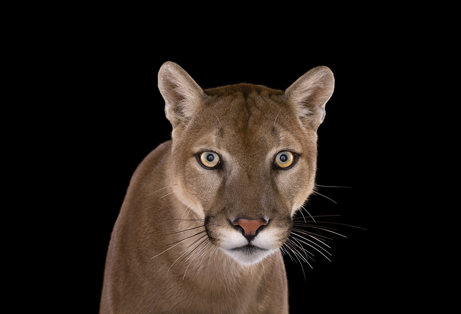 Brad Wilson - Affinity- Iconic Wildlife - Mountain Lion #1 Puma Los Angeles CA 2011.