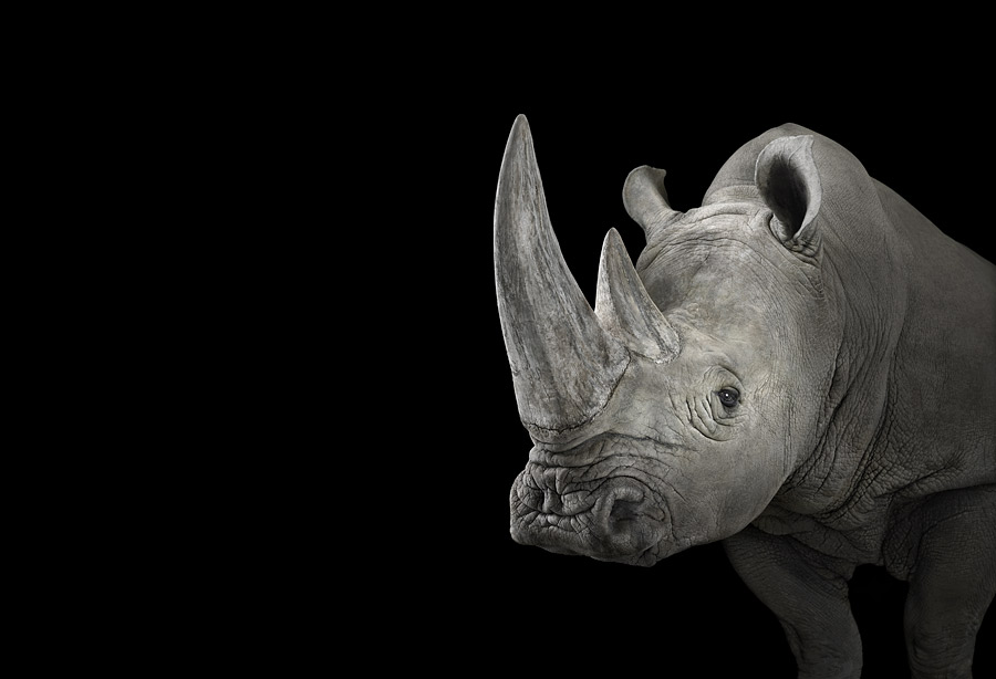 Brad Wilson - Affinity- Iconic Wildlife - Rhinoceros #1 Alburquerque NM 2013