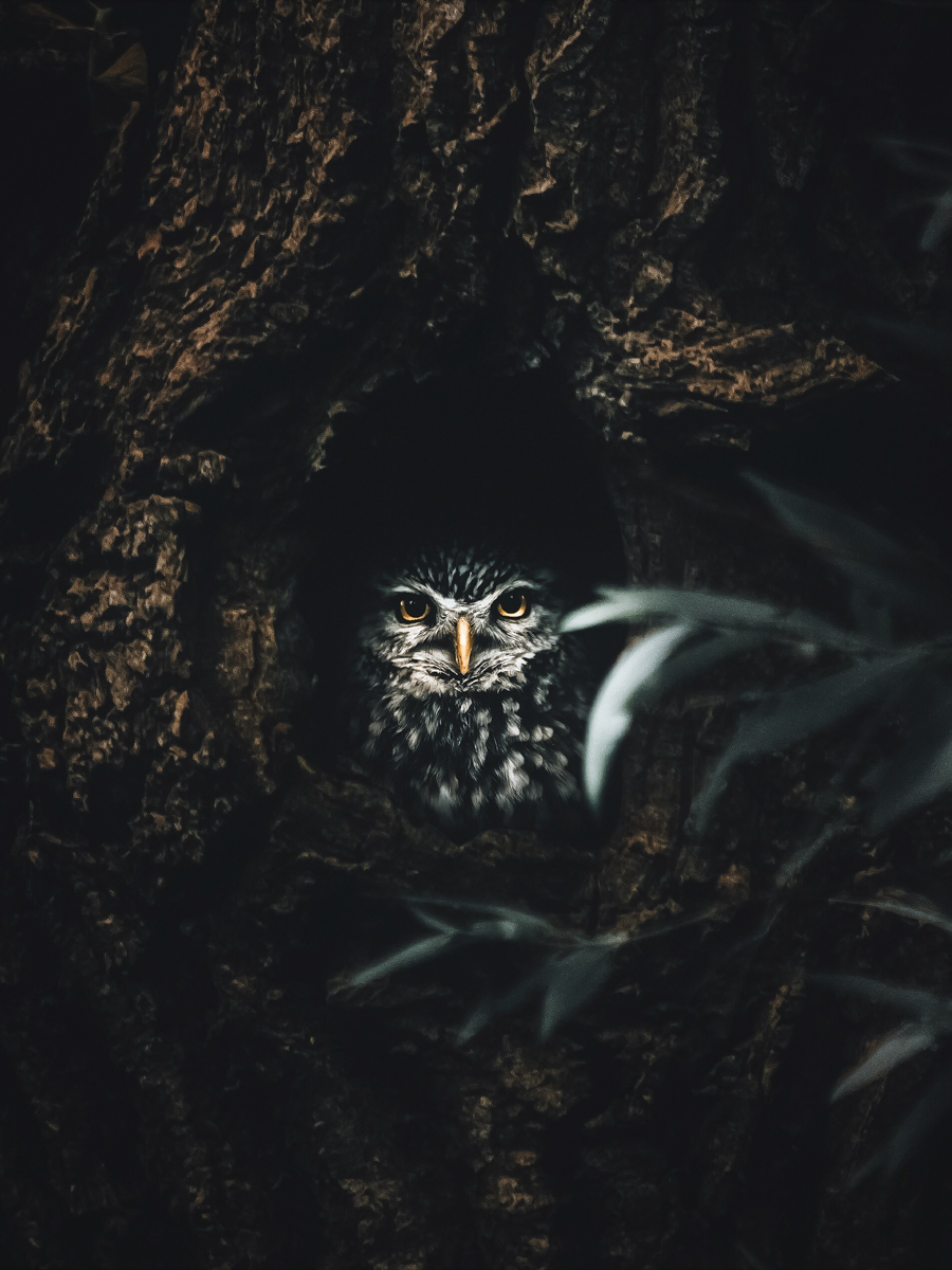 Photo d'un hibou, Alexis Rateau