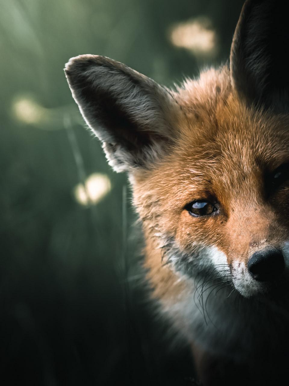 Photo d'un renard, Alexis Rateau