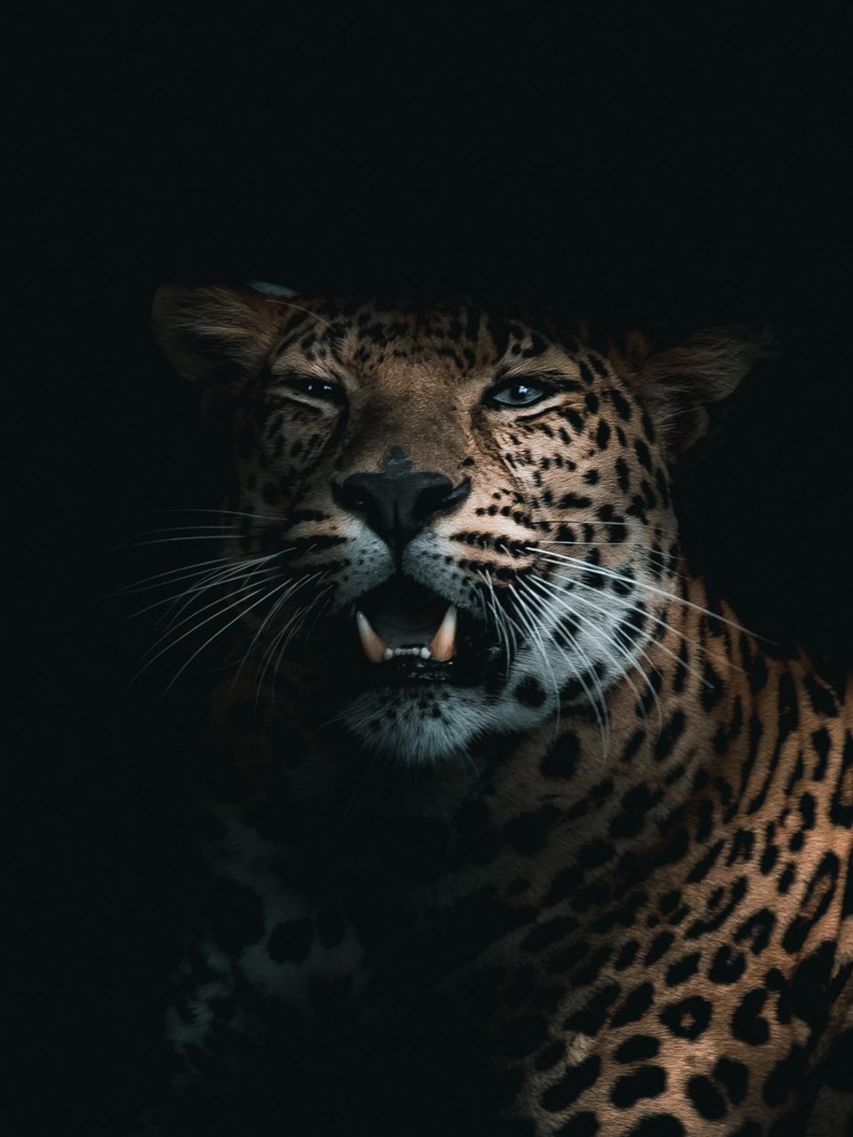 Photo d'un léopard, Alexis Rateau