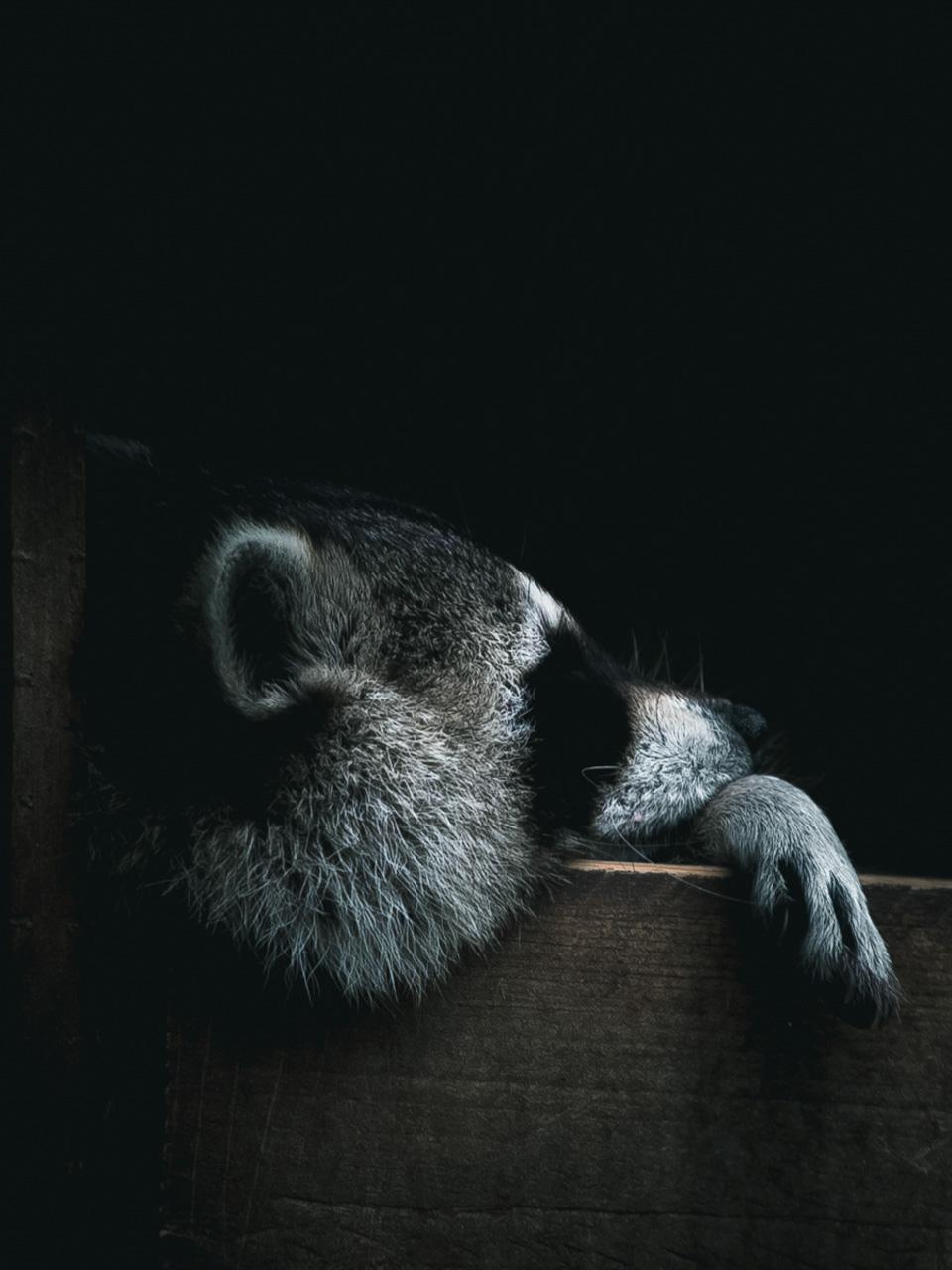 Photo d'un raton-laveur, Alexis Rateau