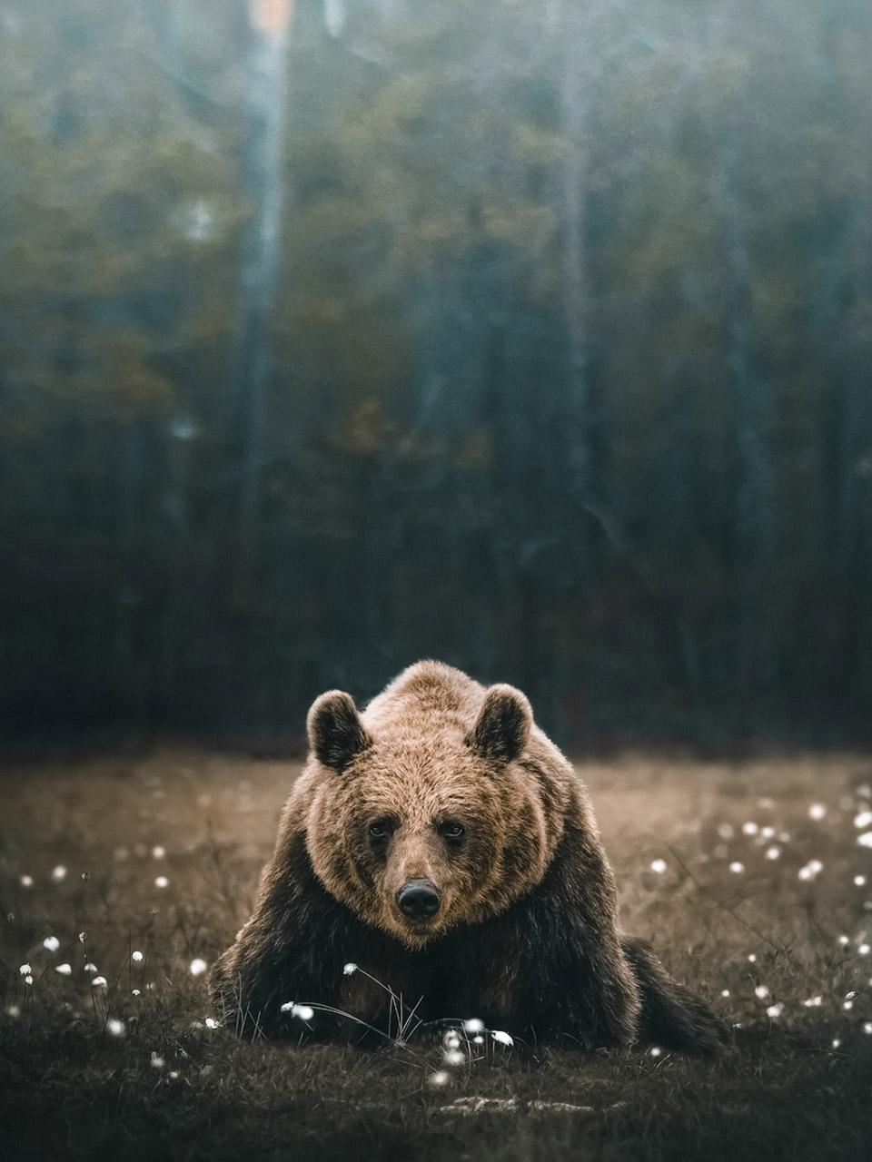 Photo d'un ours, Alexis Rateau