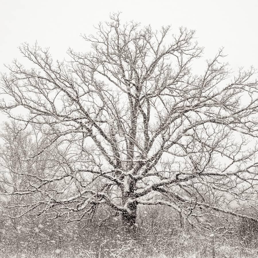 Chêne du Midwest américain sous la neige, paysage monochrome