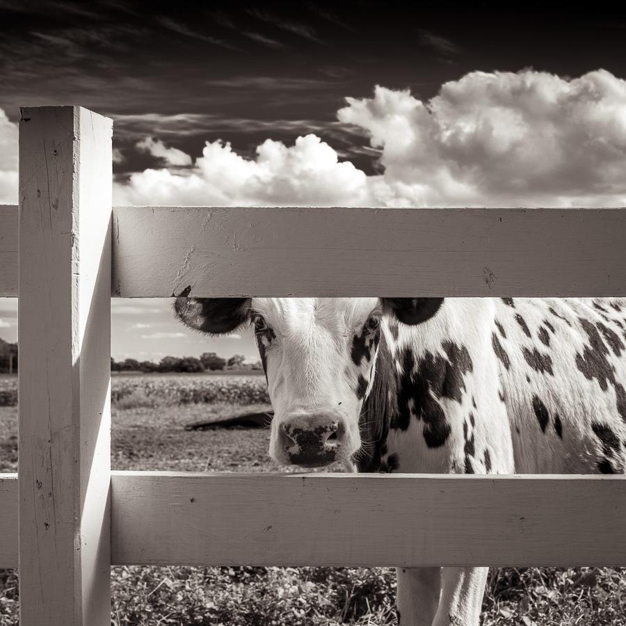 Vache derrière une clôture dans un champ du Midwest américain