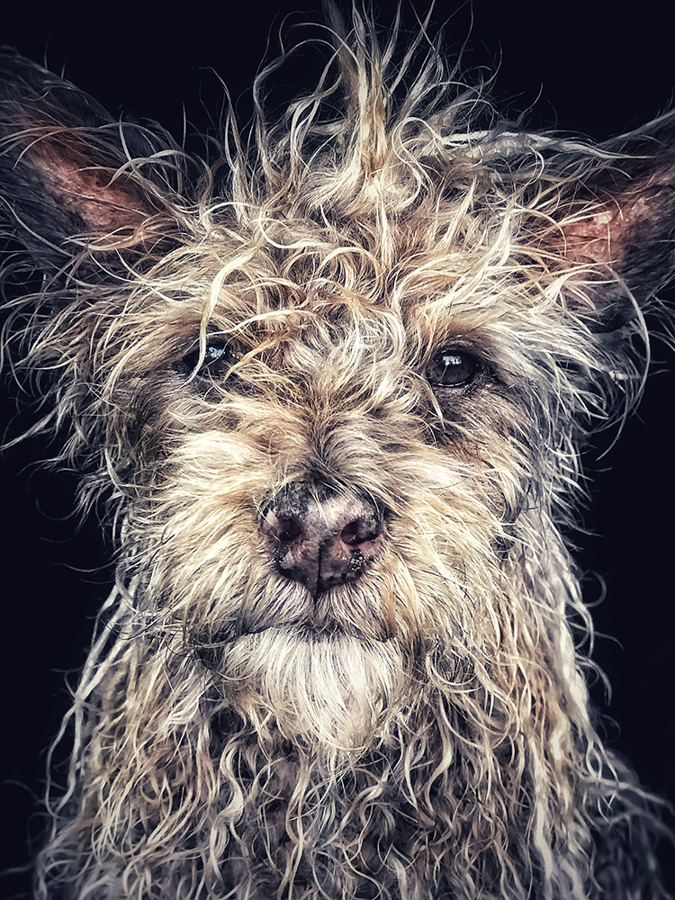 "Robin Robertis United States 1st Place – Animals ""Django"" Old man baby dog ""Django is a Shaolin Temple Terrier, born and raised in a Buddhist monastery in the northern province of Hunan China. Django likes long walks on the beach and listening to Miles Davis."" Location: Carlsbad, California Shot on iPhone 7 Plus"