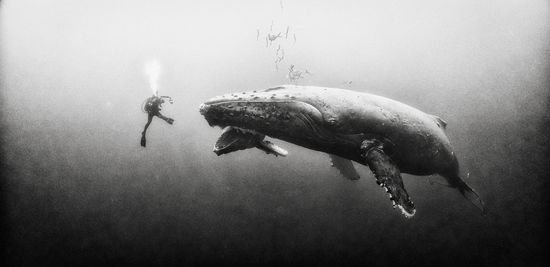 Anuar Patjane - Underwater Realm - A Family Portrait - Diving with a humpback whale and her new born calf while they cruise around Roca Partida Island, in Revillagigedo, Mexico.