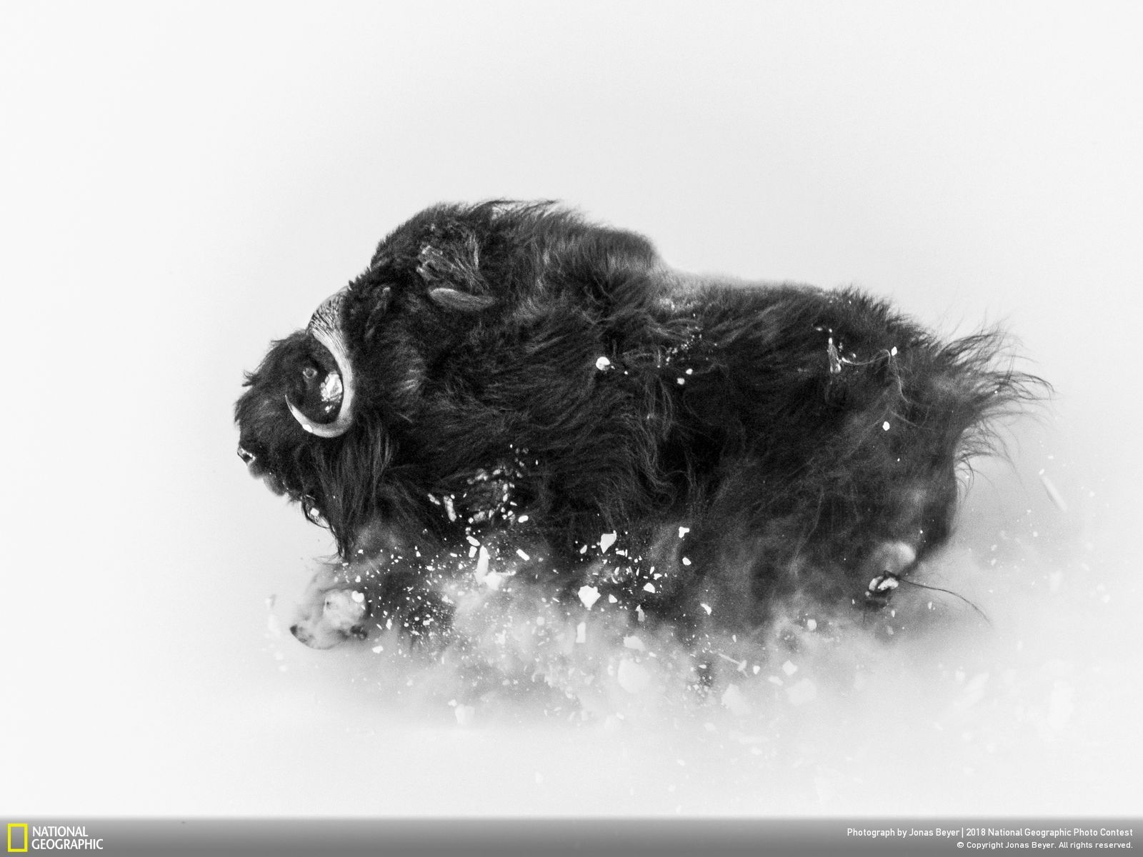 Second Prix Wildlife National Geographic Photo Contest, Deep Snow par Jonas Beyer