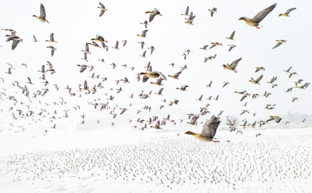 Pink-Footed Geese Meeting the Winter par Terje Kolaas gagnant des Drone Photo Awards 2021